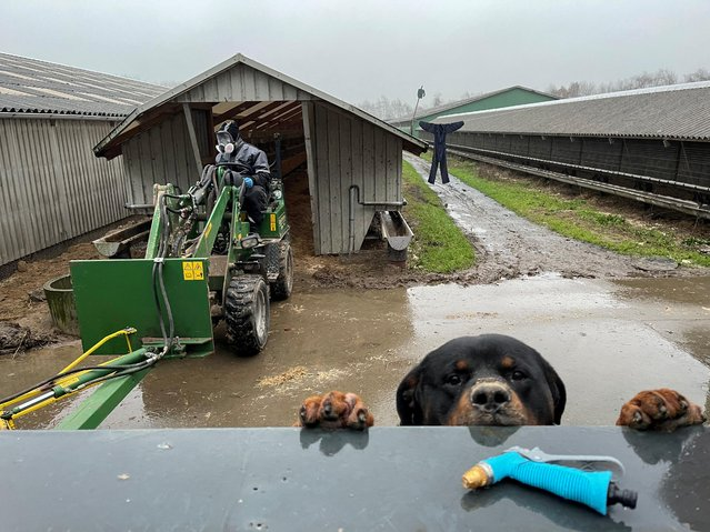 Tyson, a Rottweiler breed of dog, peers over a fence as worker Jan Loested cleans out a shed that formerly housed mink at the Semper Avanti mink farm during the outbreak of the coronavirus disease (COVID-19) in Moldrup, Denmark, December 10, 2020. (Photo by Andrew Kelly/Reuters)