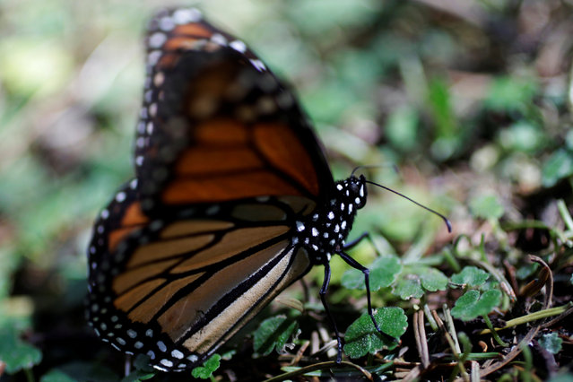 A monarch butterfly rests on the ground at the Sierra Chincua butterfly sanctuary on a mountain in Angangeo, Michoacan November 24, 2016. (Photo by Carlos Jasso/Reuters)