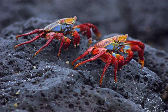Sally Lightfoot crab Galapagos. (Photo by mpp26)