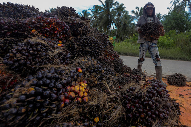 A worker carries palm oil fruits during harvest time at Teluk Payu village in Banyuasin, Indonesia's South Sumatra province, November 15, 2016, in this picture taken by Antara Foto. (Photo by Nova Wahyudi/Reuters)