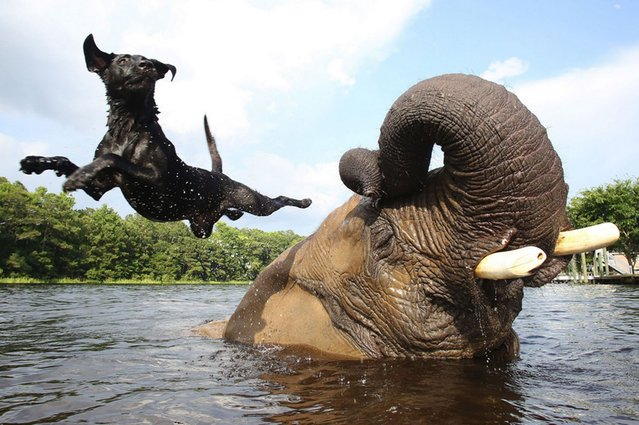 Bella, a 3 year old labrador, jumps off best friend Bubbles, a 32 year old African elephant. They both live together at Myrtle Beach Safari, South Carolina, on September 19, 2013. (Photo by Splash)