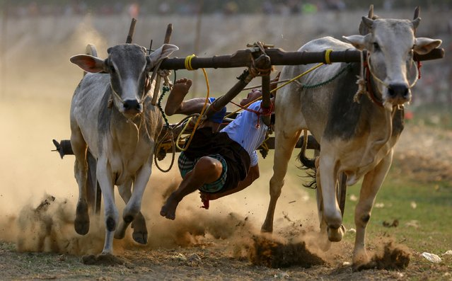 A man falls from an ox cart as he competes during an ox cart competition near U Bein bridge, in Mandalay March 22, 2015. (Photo by Soe Zeya Tun/Reuters)
