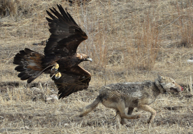 "A golden eagle attacks a wolf during the hunting festival ""Salburun"" in the village of Alysh, near Naryn, 350 km outside Bishkek, Kyrgyzstan on March 13, 2016. (Photo by Vyacheslav Oseledko/AFP Photo)"