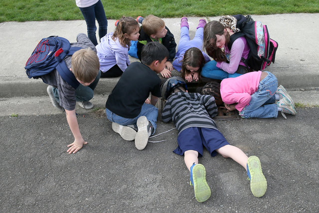 Children gather around to listen for the trapped ducklings in a storm drain in Port Orchard, Wash.,  on Friday, May 1, 2015. (Photo by Larry Steagall/AP Photo/Kitsap Sun)