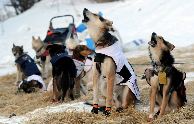 The dogs of Iditarod musher Allen Moore, from Two Rivers, Alaska,  howl as they prepare to leave the Takotna checkpoint during the Iditarod Trail Sled Dog Race on Thursday, March 6, 2014. (Photo by Bob Hallinen/AP Photo/The Anchorage Daily News)