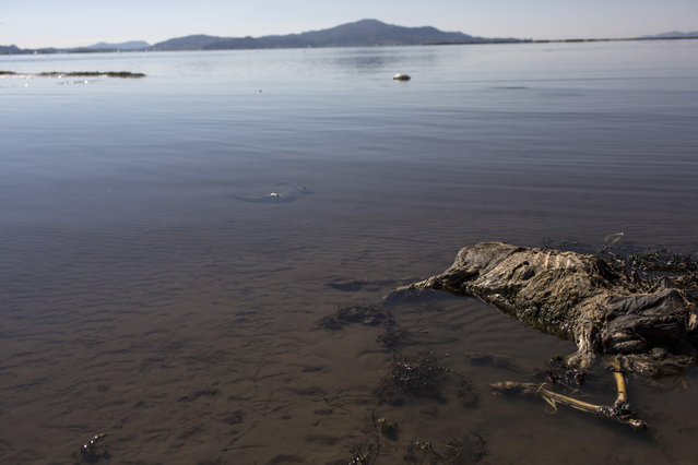 In this February 3, 2017 photo, a sheep's carcass lays on the shore of Lake Titicaca, Peru. According to environmental activists, villagers' cattle and crops are dying due to contamination. (Photo by Rodrigo Abd/AP Photo)