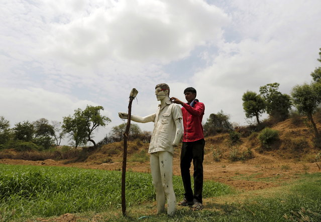 A farmer installs a scarecrow which is made from a broken mannequin in his maize field on the outskirts of Ahmedabad, June 9, 2015. (Photo by Amit Dave/Reuters)