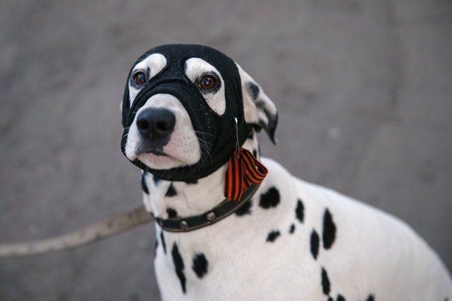A dog wearing a face mask with black and orange ribbons of St. George – a symbol widely associated with pro-Russian protests in Ukraine, is seen in Slavyansk April 18, 2014. Armed pro-Russian separatists in eastern Ukraine said on Friday they were not bound by an international deal ordering them to disarm and would not move out of public buildings they have seized until the Kiev government stepped down. (Photo by Gleb Garanich/Reuters)