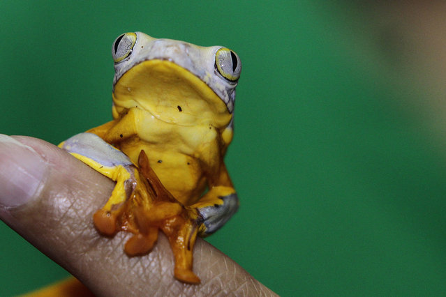 A picture made available 05 May 2016 shows a small toad at the Jambatu Center for Research and Conservation of Amphibians in Quito, Ecuador, 15 April 2016. The Jambatu Center, a state and private initiative working for the conservation of amphibians, researches for biomedicine aiming to find future remedies for human diseases. (Photo by Jose Jacome/EPA)
