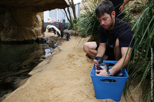 Sydney Aquarium Welcomes Baby Penguins