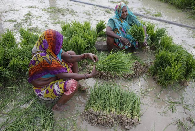 Indian farmers prepare to plant paddy saplings after monsoon rains at Sherpur village, north of Allahabad, India, Sunday, July 12, 2015. Monsoon rains are crucial for Indian agriculture, because nearly 60 percent of its farmland is rainfed. (Photo by Rajesh Kumar Singh/AP Photo)