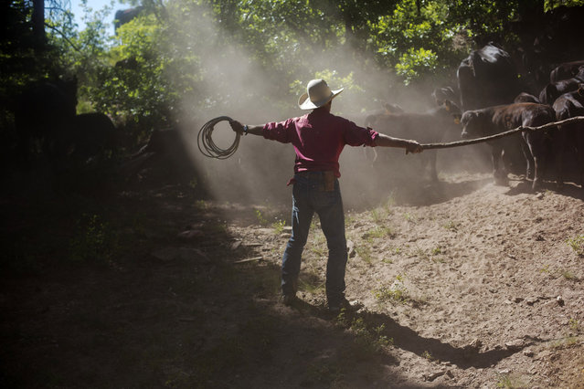 Cowboy David Thompson uses a rope and stick as he works dismounted to move a large group of calves up a trail near Ignacio, Colorado June 11, 2014. The land where the cattle graze is leased from the Forest Service by third-generation rancher Steve Pargin. Several times a year, he and a crew led by his head cowboy, David Thompson, spend a week or more herding cattle from mountain range to mountain range to prevent them from causing damage to fragile ecosystems by staying in a single area too long. (Photo by Lucas Jackson/Reuters)