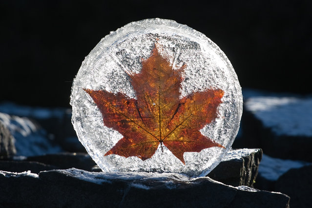 Norweigan Maple Ice Disc