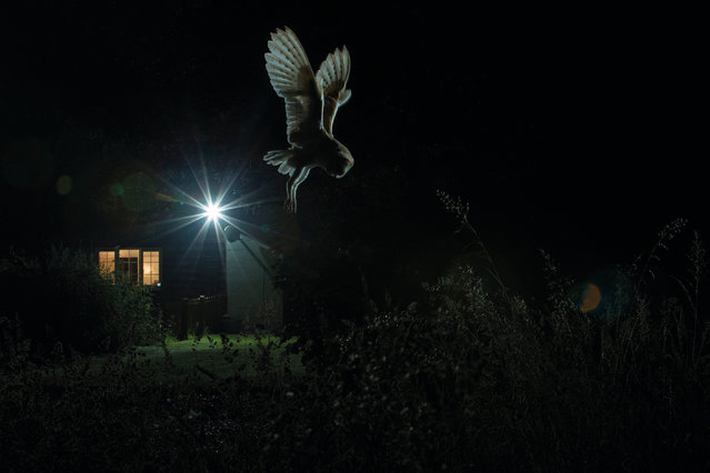 Barn owl hunting by house by Jamie Hall, Suffolk, England. Gold award winner in the birds in the garden category. A barn owl (Tyto alba) hunts for vole and rats against the photographer's patio light. (Photo by Jamie Hall/2017 Bird Photographer of the Year Awards)