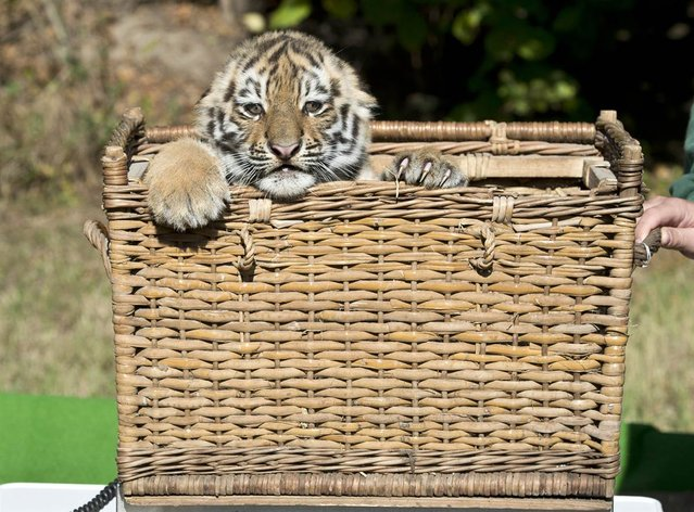 A Siberian tiger cub looks out of a basket while being weighed at the Leipzig Zoo in Germany on September 20, 2012. (Photo by Jens Meyer/AP)