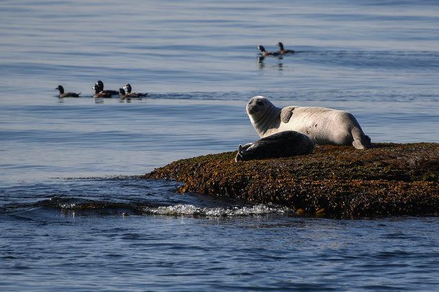A spotted seal rookery at Kambalnaya Bay, Lazovsky District, Primorye Territory, Russia on May 5, 2020. (Photo by Yuri Smityuk/TASS)