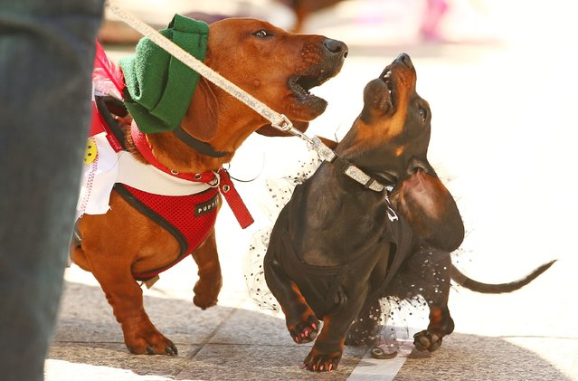 Bangers the mini dachshund barks at a compeitor as they compete in the Hophaus Southgate Inaugural Dachshund Running of the Wieners Race on September 19, 2015 in Melbourne, Australia. (Photo by Scott Barbour/Getty Images)