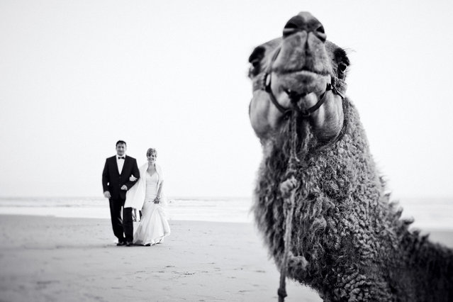 A camel photobombs a couple on their wedding day. (Photo by DavideOne Bordeaux Wedding Photographer/Caters News Agency)