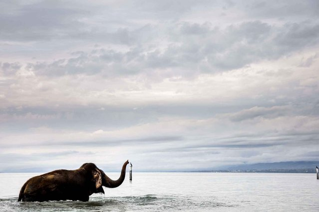 """An elephant of the Swiss national circus """"Knie"""" takes a bath in the Lake Geneva, at the Bellerive beach near Lausanne, Switzerland, Friday, October 10, 2014. (Photo by Valentin Flauraud/AP Photo/Keystone)"""