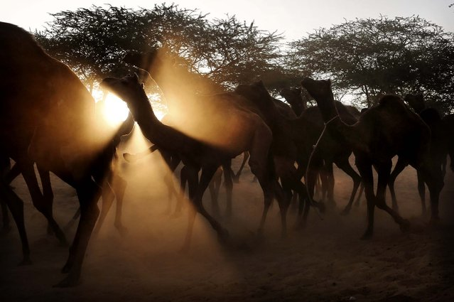 A herd of camels are lead to the Pushkar Fair in Pushkar, India, November 22, 2012. The annual camel and livestock fair attracts thousands of livestock dealers who deal in camels, horses, and cattle. (Photo by Kevin Frayer/Associated Press)