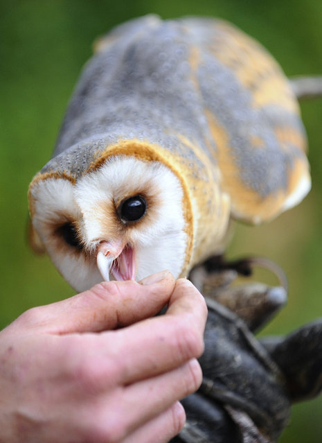 A picture taken on October 16, 2014 shows a young Barn Owl at the zoological park of the eastern French city of Amneville. (Photo by Jean-Christophe Verhaegen/AFP Photo)