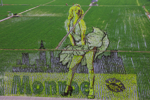 This aerial photo taken on June 24, 2020 shows an image of US iconic actress Marilyn Monroe created using different varieties of rice in a paddy in Shenyang in China's northeastern Liaoning province. (Photo by AFP Photo/China Stringer Network)