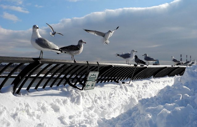 Seagulls rest along a riverside walk in New York City, January 27, 2011. (Photo by Emmanuel Dunand/AFP Photo)