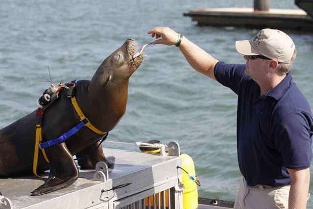 A trainer feeds a fish to a sea lion as a reward after it performs its duties during a media demonstration of the International Mine Countermeasures Exercise (IMCMEX), at the U.S. Fifth Fleet naval base, part of U.S. Central Command headquarters in Manama, November 2, 2014. (Photo by Hamad I. Mohammed/Reuters)