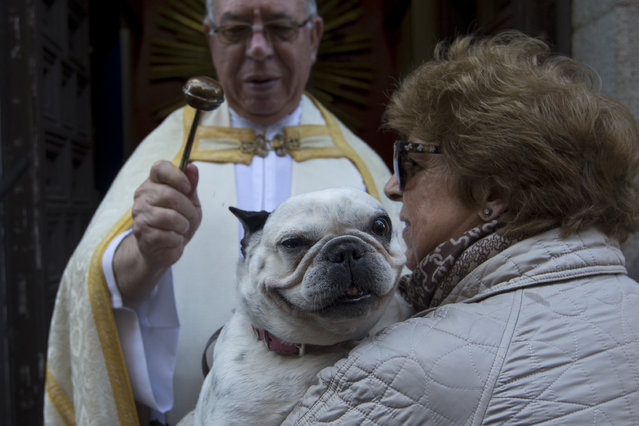 A priest anoints a dog at the San Anton church during the feast of Saint Anthony, Spain's patron saint of animals, in Madrid, Wednesday, January 17, 2018. (Photo by Paul White/AP Photo)