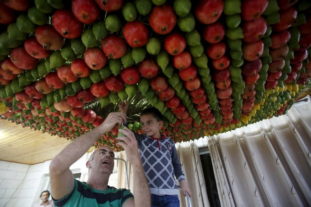 Members of the Samaritan sect decorate a traditional hut known as a sukkah with fruits and vegetables on Mount Gerizim, on the outskirts of the West Bank city of Nablus, October 25, 2015. (Photo by Abed Omar Qusini/Reuters)