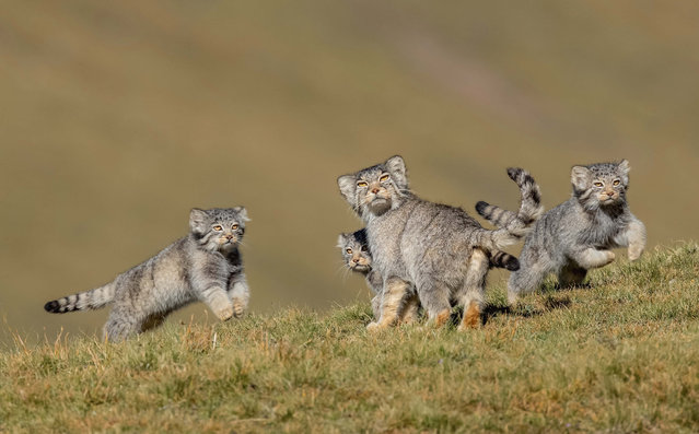 Winner – Behaviour, Mammals: When mother says run by Shanyuan Li, China. This rare picture of a family of Pallas's cats, or manuls, on the remote steppes of the Qinghai–Tibet Plateau in northwest China is the result of six years' work at high altitude. These small cats are normally solitary, hard to find and mostly active at dawn and dusk. (Photo by Shanyuan Li/Wildlife Photographer of the Year 2020)