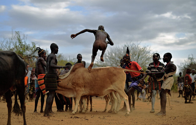 """A man from the Hamar tribe takes part in a bull jumping ceremony in Ethiopia's southern Omo Valley region near Turmi on September 19, 2016. The Hamar are a Nilotic ethnic group in Ethiopia. Bull jumping has been practised by the Hamars for thousands of years. The ceremony is a coming of age tradition which allows young men to marry. The man has to run across the backs of bulls which have been lined up, 4 times. If he falls through the row of bulls he is to start again until he finishes without falling. If the man fails to properly """"jump the bulls"""" he risks humiliation and being cast out by his village as well as never being able to marry in the future. Before the ceremony women line up to be whipped by men holding sticks to prove their devotion to the men. The construction of the Gibe III dam, the third largest hydroelectric plant in Africa, and large areas of very 'thirsty' cotton and sugar plantations and factories along the Omo river are impacting heavily on the lives of tribes living in the Omo Valley who depend on the river for their survival and way of life. Human rights groups fear for the future of the tribes if they are forced to scatter, give up traditional ways through loss of land or ability to keep cattle as globalisation and development increases. (Photo by Carl De Souza/AFP Photo)"""