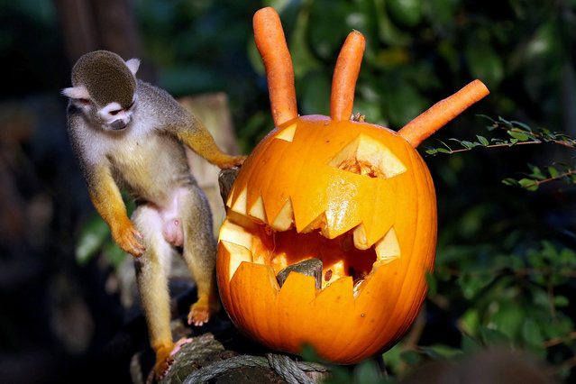 A squirrel monkey approaches on a carved pumpkin in the Zoo in Leipzig, Germany, 28 October 2015. Zoo staff have their animals brings a sweet surprise on the eve of Halloween entertainment. In this case, raisins were hidden in horror head. (Photo by Jan Woitas/EPA)