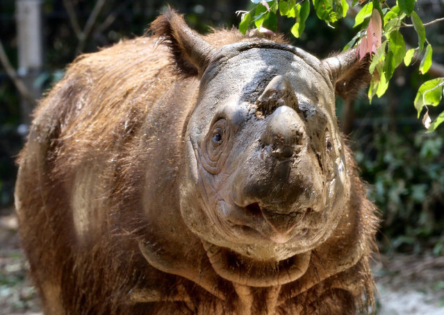 An eight-year-old Sumatran Rhino named 'Harapan' explores its enclosure shortly after it was officially handed over to Indonesian authorities at the Sumatran Rhino Sanctuary in the Way Kambas National Park, Lampung province, Indonesia, 05 November 2015. The US-born endangered rhino was recently sent from the Cincinnati Zoo and Botanical Garden, in Cincinnati, Ohio, USA, on a mission to save its species from extinction. (Photo by EPA/Stringer)