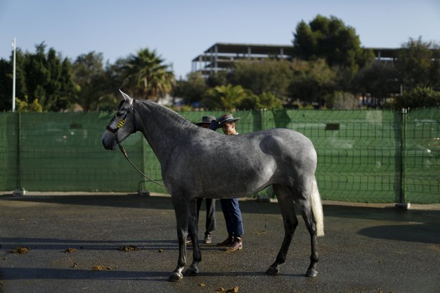 Andalusian horsemen chat before competing in a morphological contest for mares of two years during the Sicab International Pre Horse Fair which is dedicated in full and exclusively to the purebred Spanish horse in the Andalusian capital of Seville, southern Spain November 17, 2015. (Photo by Marcelo del Pozo/Reuters)