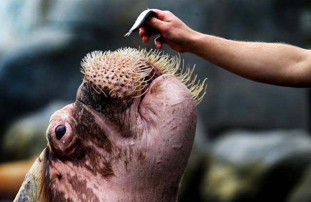 A walrus is fed with fish by a zookeeper during a baby animals inventory at the Hagenbeck Zoo in Hamburg, Germany, on May 16, 2013. (Photo by Joern Pollex/Getty Images)