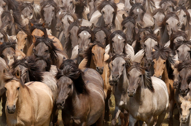 Horses are seen during a wild horse show event in Duelmen, Germany, May 26, 2018. (Photo by Leon Kuegeler/Reuters)