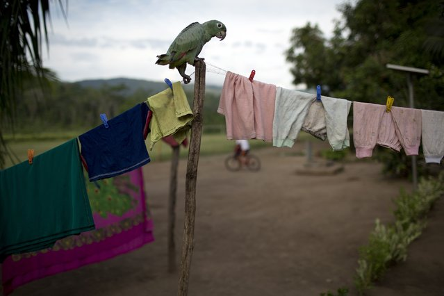 "In this November 20, 2015 photo, a parrot perches on a clothesline where children's items hang in Potsoteni, an Ashaninka indigenous community in Peru's Junin region. Nestor Alvarado, who's in the fifth year of secondary school, said that when classes are out, he also traps birds, worms and insects. But ""every day there's less in the countryside"". Loggers, miners, colonists and guerrillas have reduced the lands of the Ashaninka people in the Peruvian Amazon. (Photo by Rodrigo Abd/AP Photo)"