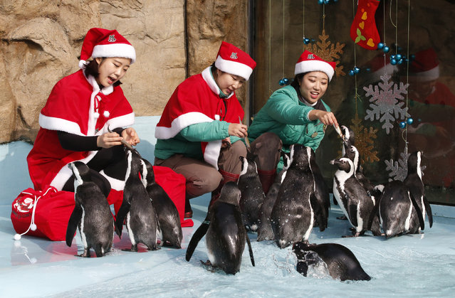 Zookeepers dressed in Santa Claus costumes feed penguins during a Christmas event as part of a promotional event for the upcoming Christmas at the Everland amusement park in Yongin, South Korea, Wednesday, December 23, 2015. (Photo by Lee Jin-man/AP Photo)