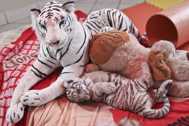 A 42-day-old white bengal tiger cub (bottom), the first of its kind born in Peru, sleeps between toys as he is presented at the Huachipa's zoo in Lima on August 6, 2013. (Photo by Ernesto Benavides/AFP Photo)