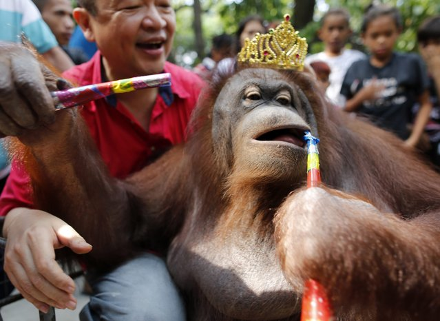 """An Orangutan named """"Pacquiao"""" blows a horn during a parade inside the Malabon Zoo in Malabon City, north of Manila, Philippines, 28 December 2015. According to Chinese astrology, the coming year of 2016 will be the Year of the Monkey. (Photo by Francis R. Malasig/EPA)"""