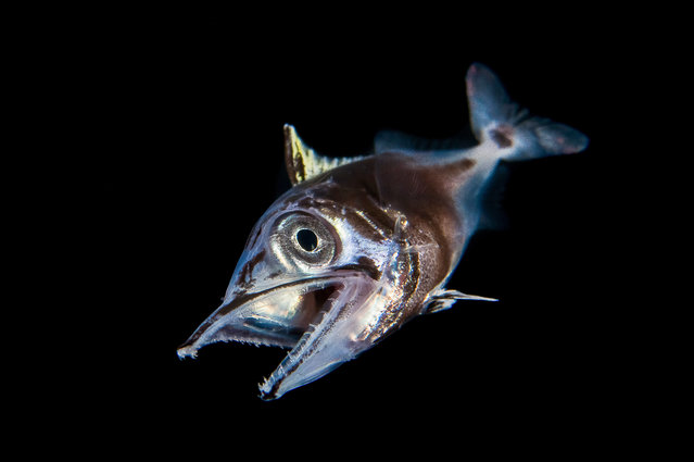 A Juvinile Dogtooth Tuna from the waters around Anilao, Philippines. (Photo by Cai Songda/Caters News Agency)
