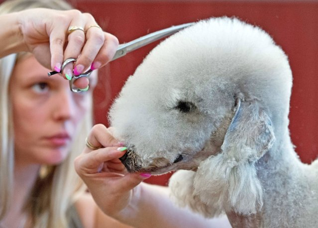 Melanie Vervaeke of Belgium works on her Bedlington Terrier dog in the scissoring open class at the German international dog grooming championships in Stadtroda, central Germany, Saturday, August 31, 2013. (Photo by Jens Meyer/AP Photo)