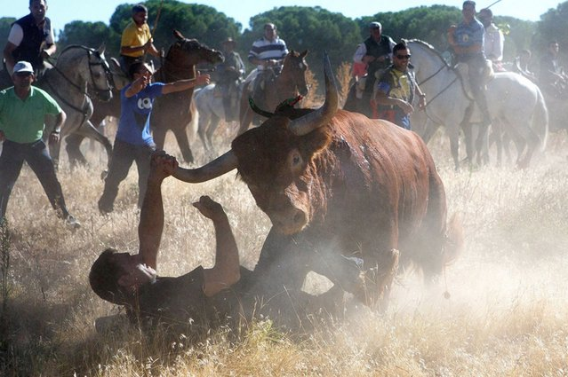 """A bull charges over a photographer during the """"Toro de la Vega"""" bull of the plain festival in Tordesillas, Spain, on September 19, 2013. (Photo by Pablo Blazquez Dominguez/Getty Images)"""