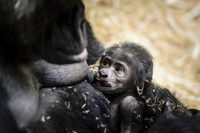 A new born  baby gorilla is held by its mother at Artis Zoo in Amsterdam, on January 22, 2016. After a gestation period of 8.5 months, the western lowland gorilla was born. For mom Sindy it is her fifth young. (Photo by Remko De Waal/AFP Photo)