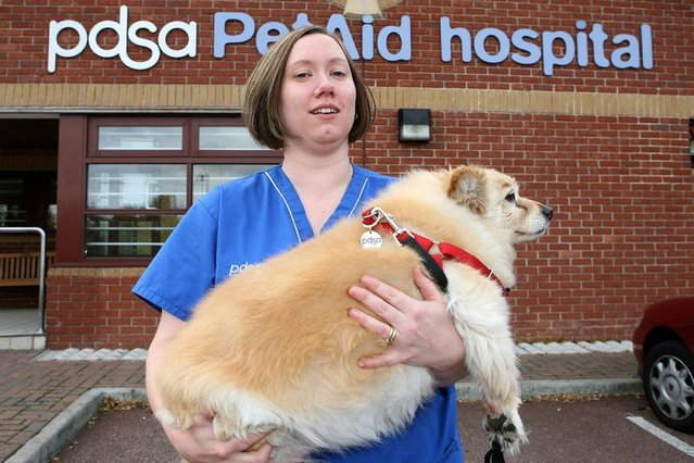 13-year-old overweight dog Scooby, from Gillingham. The dog weighs 16.3kg. (Photo by PDSA)
