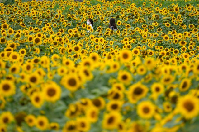 Visitors wearing face masks as a precaution against the coronavirus, walk through a sunflower field during the lunch break in Paju, South Korea, Thursday, July 1, 2021. (Photo by Lee Jin-man/AP Photo)