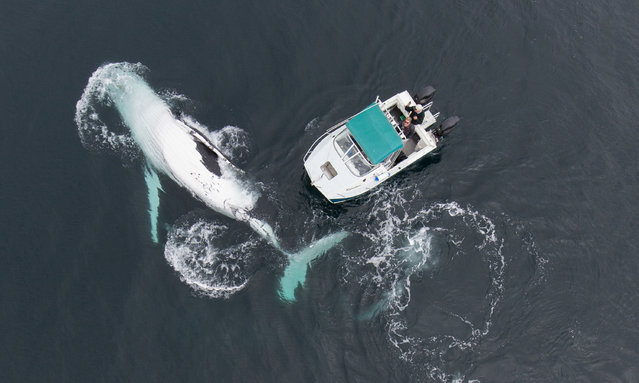 An aerial shot taken by a drone of a humpback whale beside a boat on the Byron Bay, Australia on February 16, 2016. The whale was circling the small boat for around 90 minutes giving professional nature photographer Craig Parry chance to get this shot. (Photo by Craig Parry/Barcroft Media)