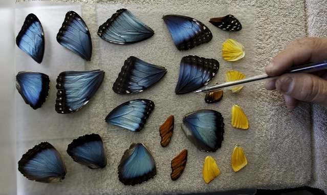 Frander Arroyo, select wings of butterflies at Blue Morpho Butterfly House in Alajuela, Costa Rica, March 10, 2016. According to Arroyo, owner of Blue Morpho Butterfly House, he collects dead butterflies from his garden to mount as handicraft like earrings, necklaces, paintings and rings for export with prices ranging from $12 to $16 a piece. (Photo by Juan Carlos Ulate/Reuters)