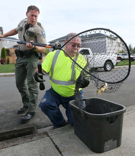 Washington Department of Fish and Wildlife officer Jason Czebotar, left,  holds a net with a captured duckling inside that he just scooped up from a storm drain below him, on Siskin Circle in Port Orchard, Wash.,  on Friday, May 1, 2015. Czebotar is helped by City of Port Orchard Public Works employee Dan Castillo. (Photo by Larry Steagall/AP Photo/Kitsap Sun)
